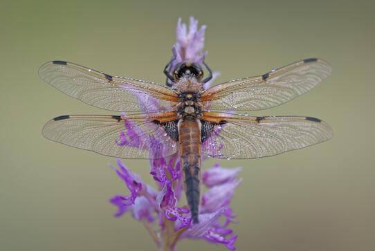Métaphore de la libellule